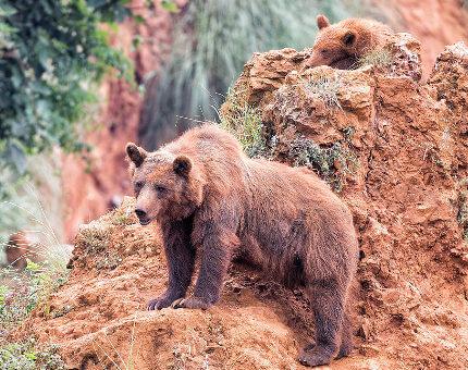 oso pardo en peligro de extincion