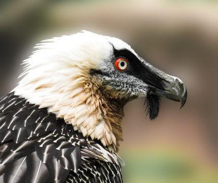 Quebrantahuesos especie en extincion