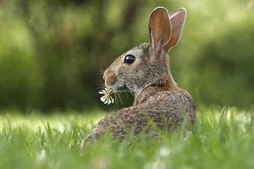 conejo-para-caza